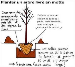 Planter un arbre livr en motte conseils - Plantation arbre en motte ...