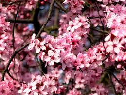 Une magnifique floraison printanière pour votre jardin (78)