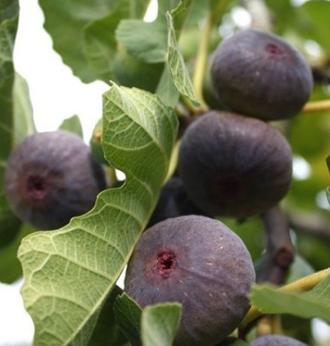 Taille d'arbres fruitiers par des jardiniers des Yvelines
