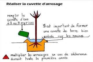 Cuvette d'arrosage pour arbre - Conseils de plantation