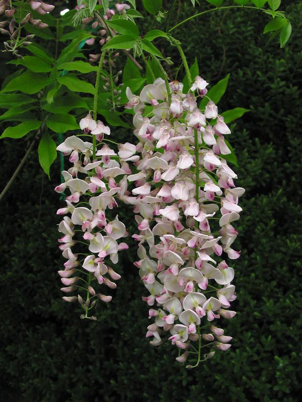 Entreprise de Paysages - Glycine du Japon - Wisteria floribunda