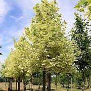 Acer platanoïdes Drummondii