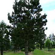Pinus nigra austriaca